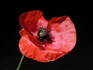 red-poppy-remembrance-day